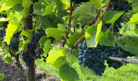 Besøg en vingård