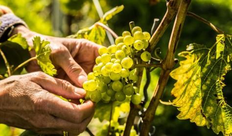 Samme druer - forskellig vin