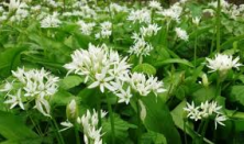 Spiselige urter – fra strand, skov og mark - Eskebjerg Vesterlyng